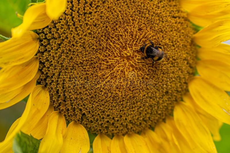 A fat bumblebee sits in the middle of a yellow sunflower stock photos