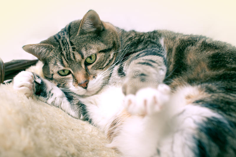 Fat Cat. Lying on Lamb skin in different funny poses stock image
