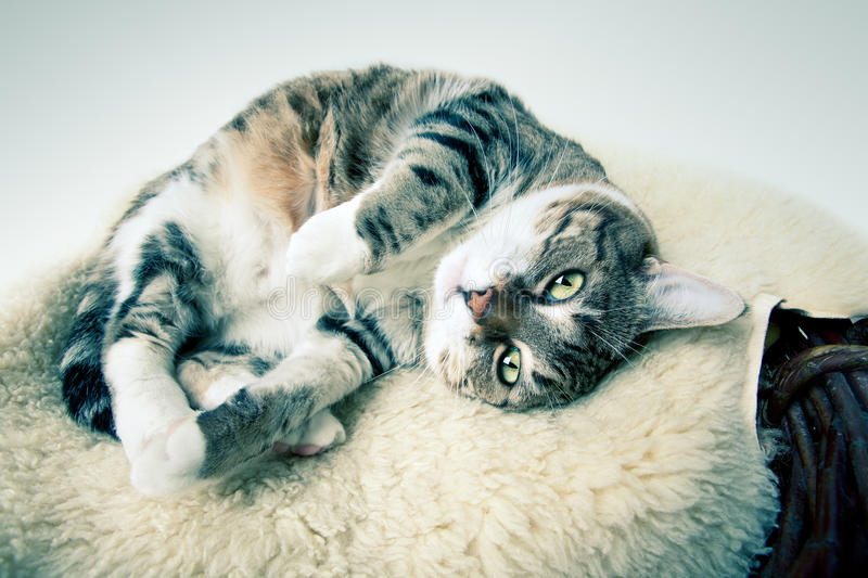 Fat Cat. Lying on Lamb skin in different funny poses stock photos