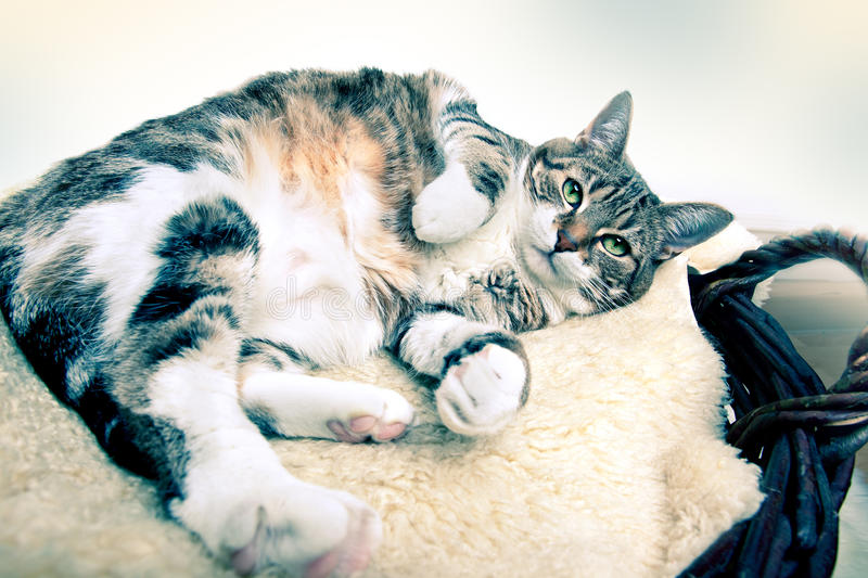 Fat Cat. Lying on Lamb skin in different funny poses royalty free stock photo