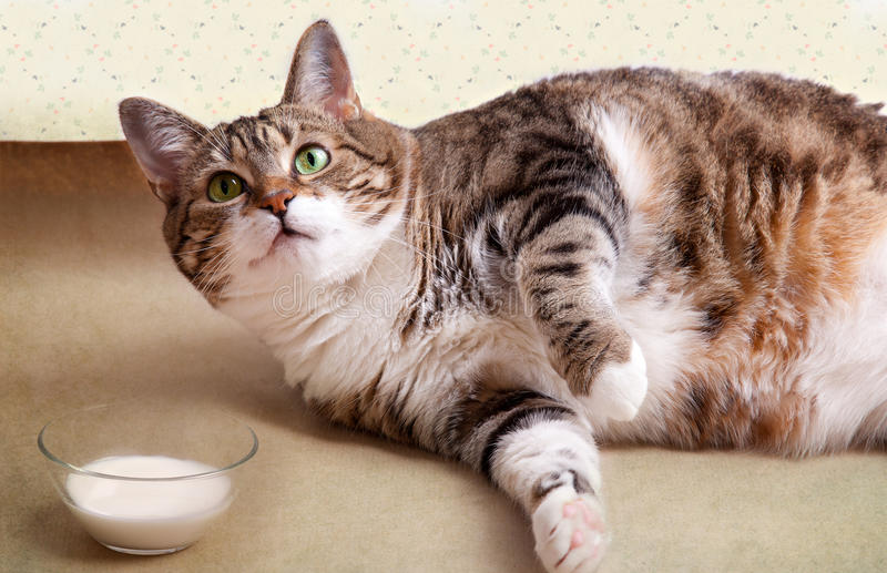 Fat Cat with Milk. Fat Cat lying on floor with milk bowl stock photography