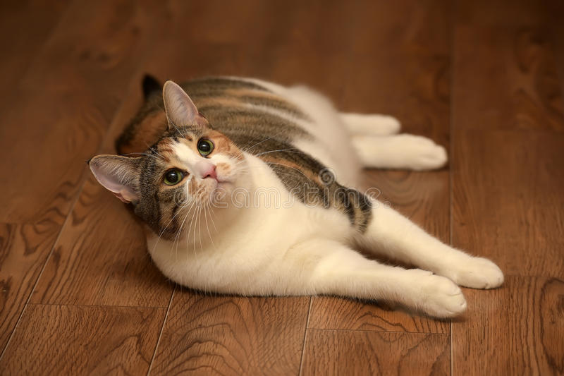 Fat cat playing. On the wooden floor stock photo