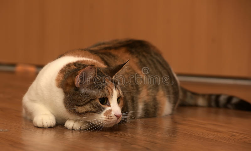 Fat cat playing. On the wooden floor royalty free stock photos