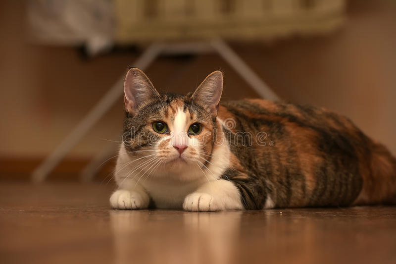 Fat cat playing. On the wooden floor stock photos