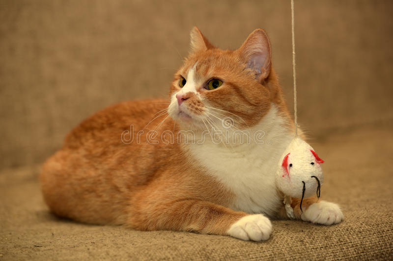 Fat cat playing stock image