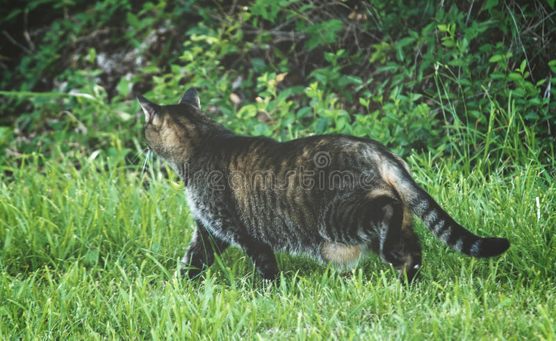 Fat Cat on the Prowl stock photos