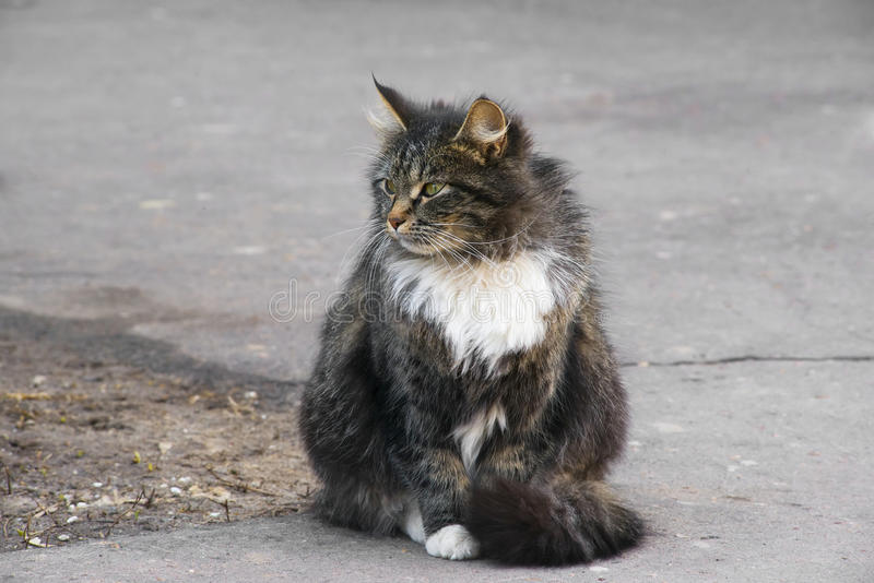 Fat cat. Sitting on a road royalty free stock photo