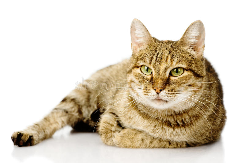 Fat cat. on white background.  stock photography