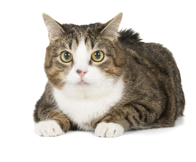 Fat cat. On a white background in studio royalty free stock photo