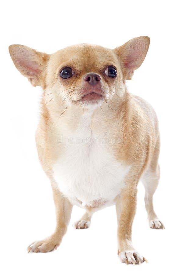 Download Fat chihuahua stock photo. Image of pedigree, beautiful - 26959186