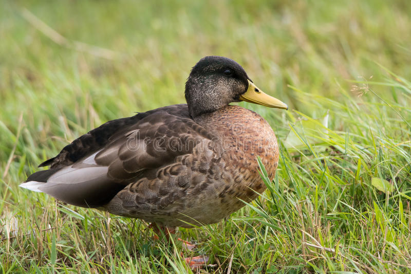 Fat duck. Bulky greenhead in transitional plumage in late summer stock image