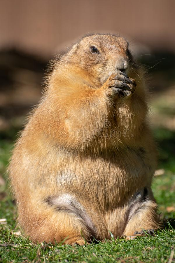 Fat female of prairie dog eating royalty free stock photos