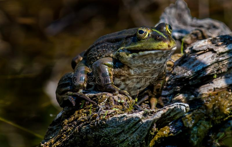 Fat frog sits on a tree stump stock image