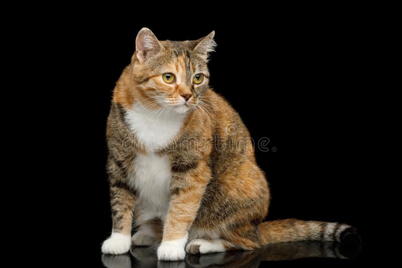 Fat Ginger Calico Cat on Isolated Black Background. Fat Ginger Calico Cat Sitting on Isolated Black Background, side view stock images