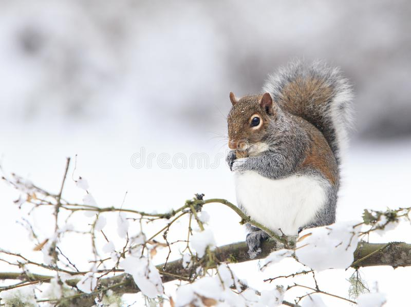 Fat Grey Squirrel Eating Peanut on Snowy branch. A plump eastern grey squirrel holding a peanut in it`s paws while sitting on snowy tree branch. The grey royalty free stock photography