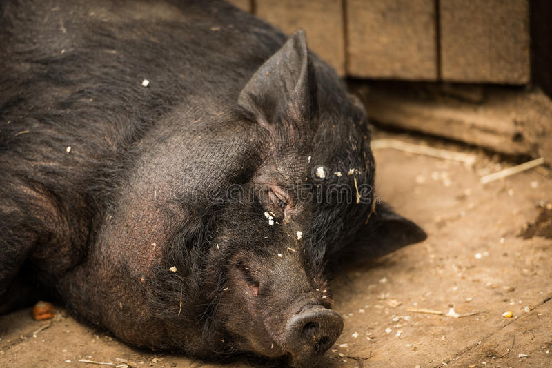 Fat hog. Stock photo of fat hog royalty free stock photography