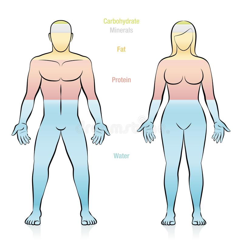 Fat Protein Water Minerals Human Body Female Male. Composition of the main molecules that compose a normal weight woman. Water, fat, protein, minerals and vector illustration