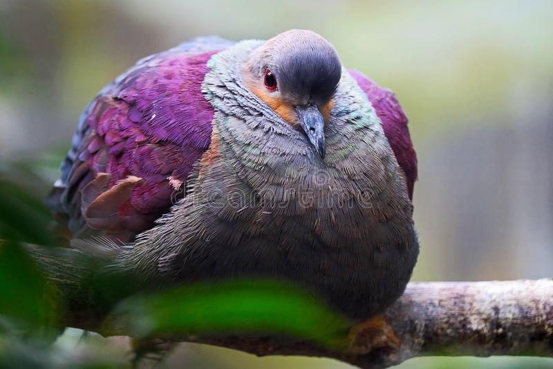 Fat puffed up crested quail-dove perching on a branch royalty free stock image