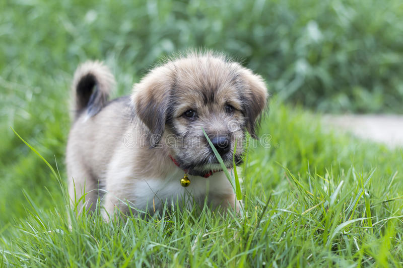 Fat puppy is playing alone in grass field stock photos