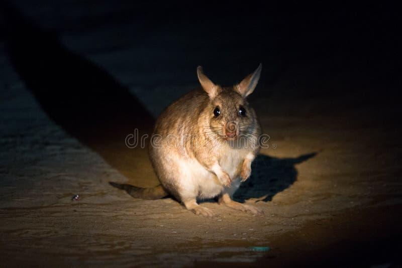 Fat rat stock images