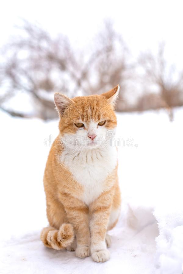 Fat red cat sits in the snow.  stock photo