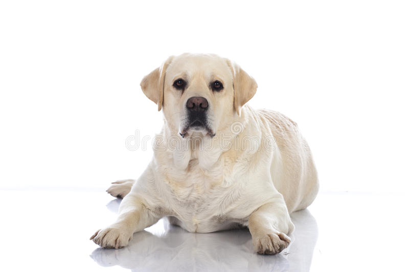 Fat retriever dog royalty free stock images