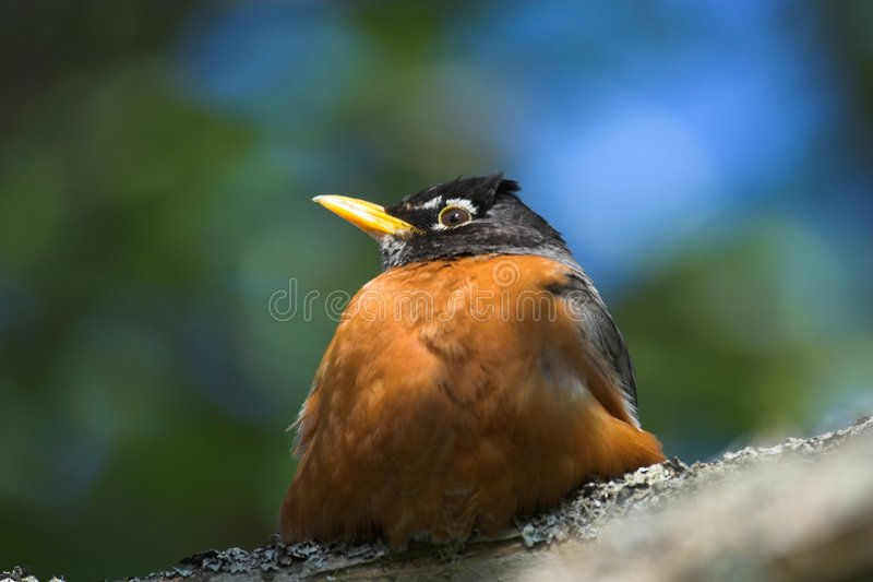 Fat robin stock images
