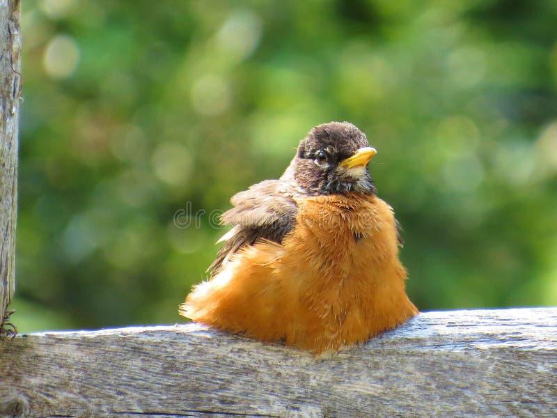 Fat Robin stock image