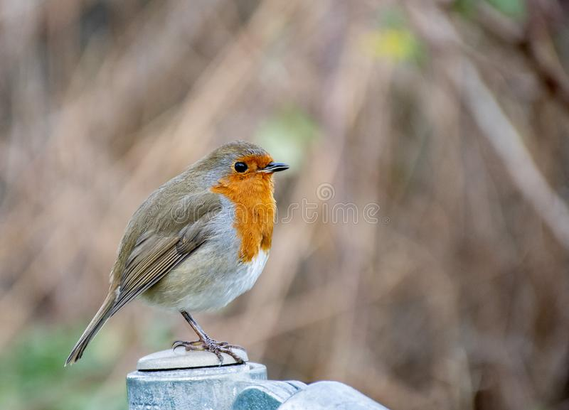 Fat  robin red breast  bird royalty free stock images