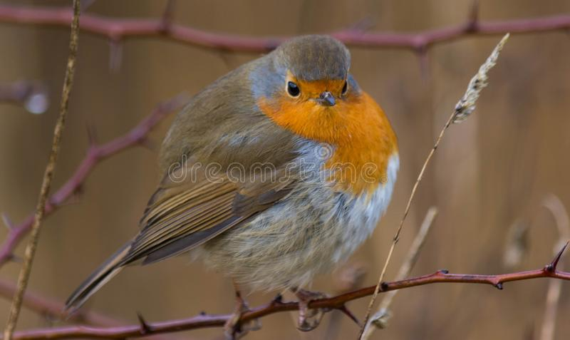 Fat Robin royalty free stock image