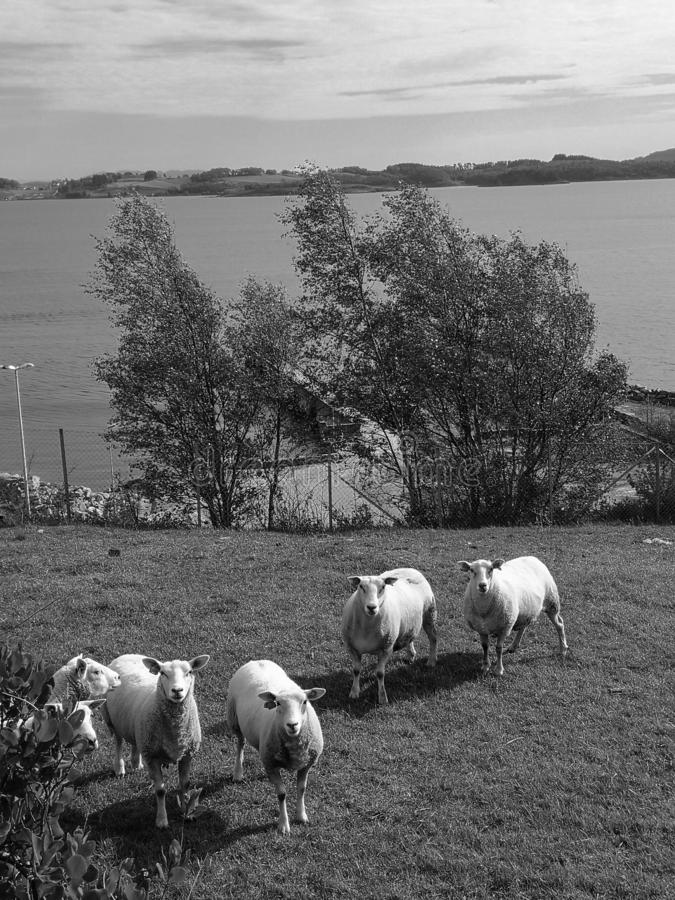 Fat sheeps in black and white royalty free stock photos