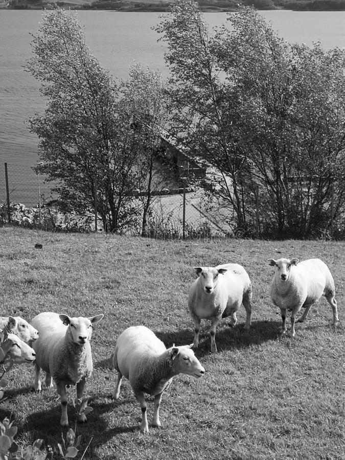 Fat sheeps in black and white stock image