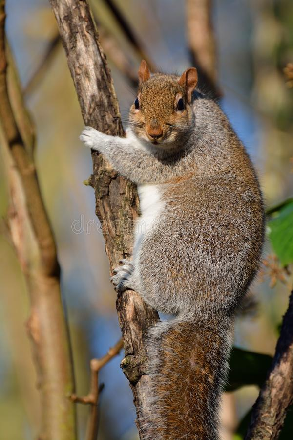 Fat squirrel looking at you royalty free stock photo