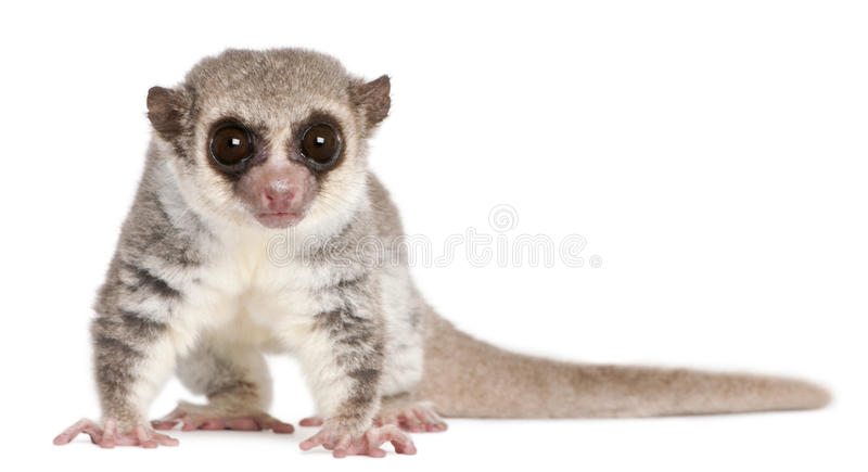 Fat-tailed Dwarf Lemur, Cheirogaleus medius. 11 years old, in front of white background stock photos