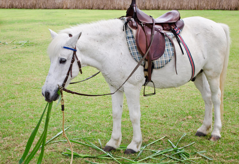 Fat white horse in zoo royalty free stock image