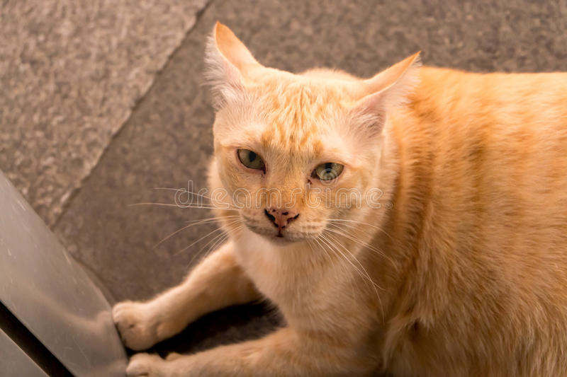 Fat yellow cat. Lazy fat yellow cat lying royalty free stock photography