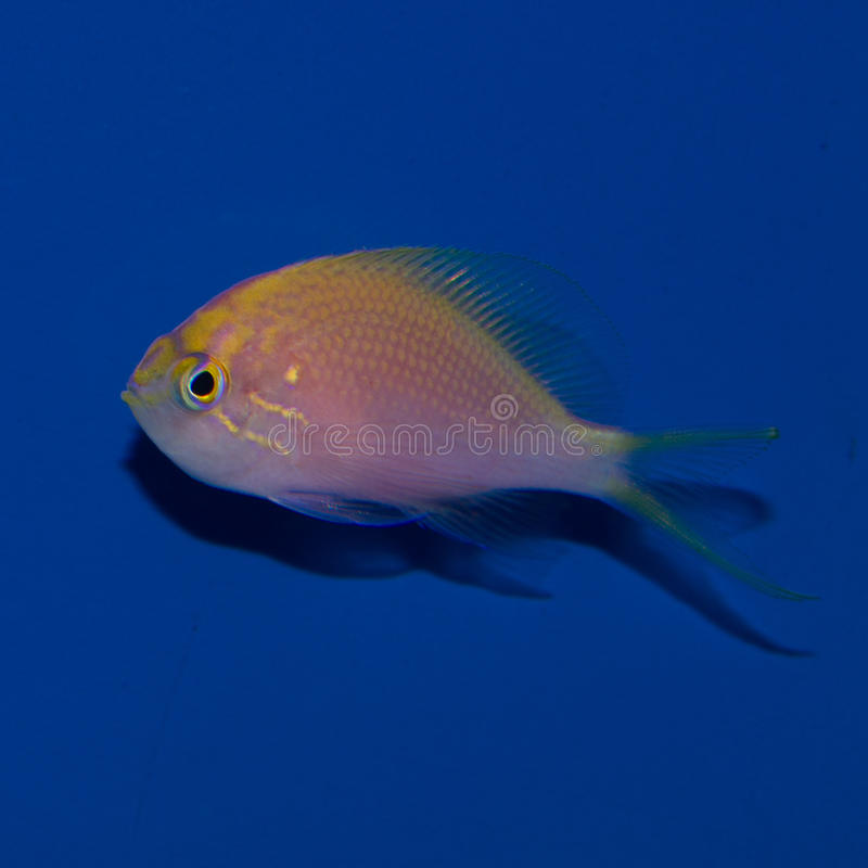 FatheadSunburst Anthias royaltyfri fotografi
