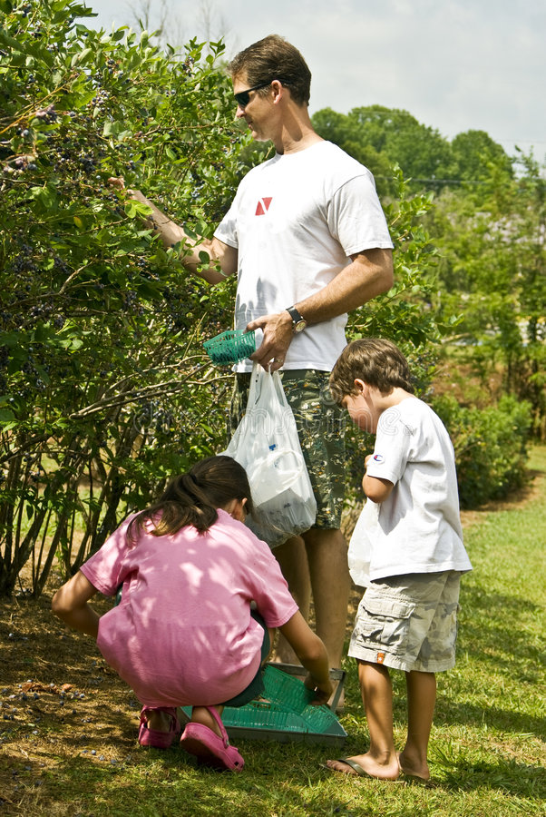 Father/Children Picking Fruit. A man with his son and daughter picking blueberries from a bush