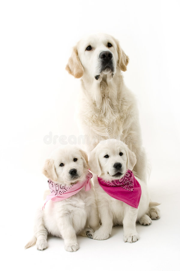 Father and daughters. 3 golden retrievers
