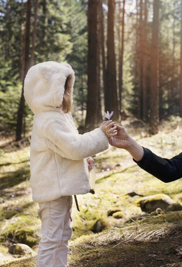 Father gives a flower crocus to his little girl. Father and daughter on a mountain walk, pine forest with wildflowers.  royalty free stock photography