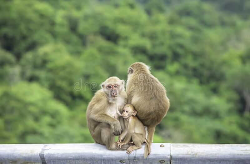 Father, mother and baby monkey sitting on a fence blocking the road Background green leaves stock photography