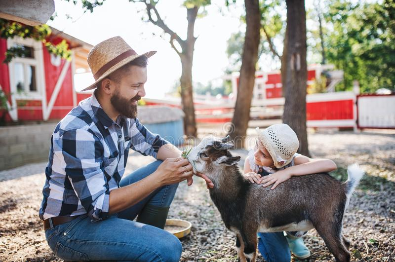 A father with small daughter outdoors on family farm, feeding animals. stock photo