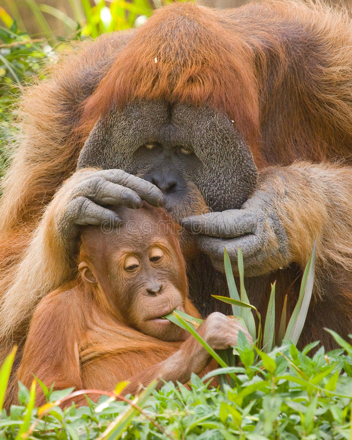 Download Father and Son stock image. Image of caring, orangutan - 12963745
