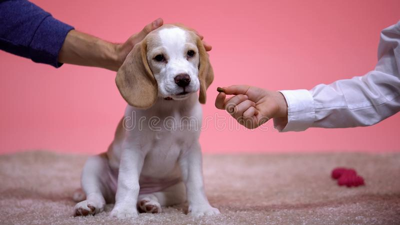 Father and son feeding beagle dog from hand stroking new family pet, animal care stock photos