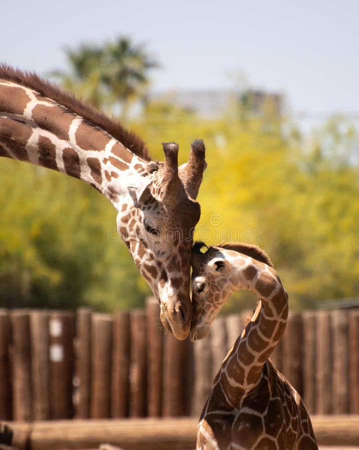 Father and son giraffe nuzzle stock images