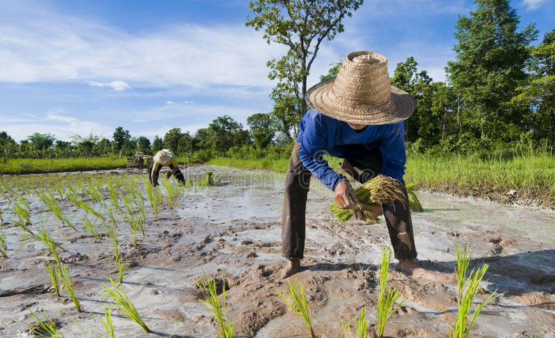Father and son growing rice stock image