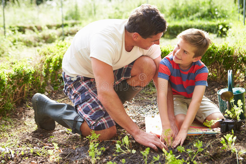 Father And Son Planting Seedling In Ground On Allotment royalty free stock images