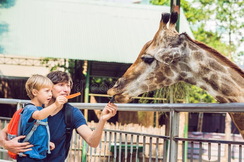 Father and son watching and feeding giraffe in zoo. Happy kid having fun with animals safari park on warm summer day.  stock photo