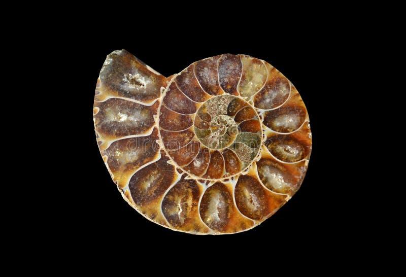fatia fóssil do caracol fotografia de stock