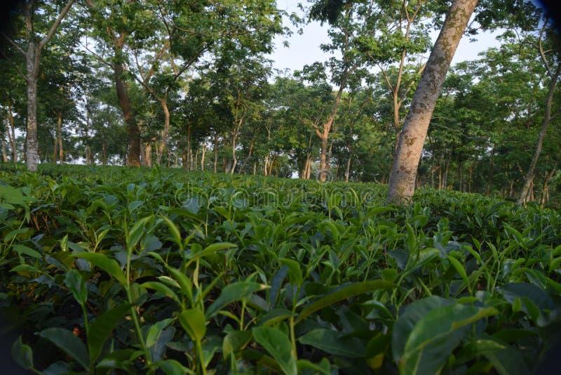 Fatickchri Odulia茶园, Najirhat,吉大港,孟加拉国 免版税库存照片